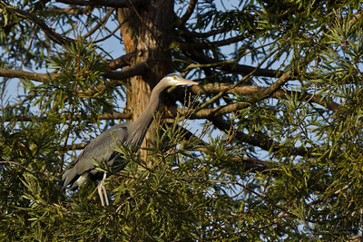 Great blue heron (Ardea herodias) perched on a tree.