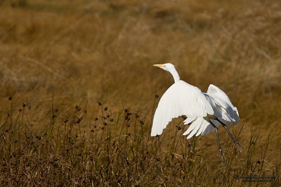 The Great Egret (Ardea alba), also known as the Great White Egret or Common Egret