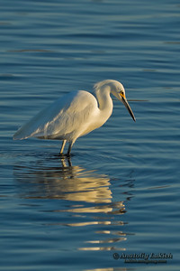 Great Egret. The Great Egret (Ardea alba), also known as the Great White Egret or Common Egret.  Большая белая цапля