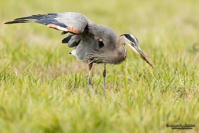 Great blue heron (Ardea herodias). The Great Blue Heron is a large wading bird in the heron family Ardeidae.