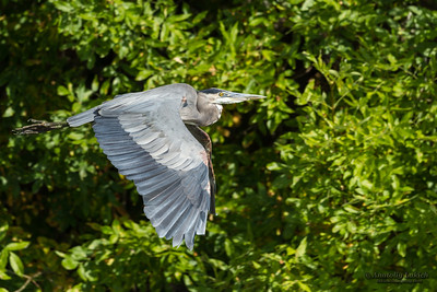 Great blue heron (Ardea herodias) in flight. The Great Blue Heron is a large wading bird in the heron family Ardeidae.