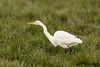 Great Egret. The Great Egret (Ardea alba), also known as the Great White Egret or Common Egret.  Большая белая цапля - крупная болотная птица семейства цаплевых