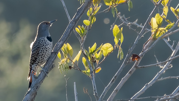 Female Red-shafted Northern Flicker