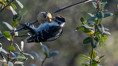 Downy Woodpecker on Oak Gall