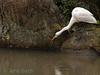 Great egret (egretthäger) (<i>Ardea alba</i>)