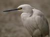 Little egret (silkeshäger) (<i>Egretta garzetta</i>)