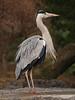 Grey heron (gråhäger) (<i>Ardea cinerea</i>)