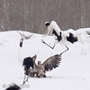 A juvenile white-tailed eagle is beaten up by an adult crane