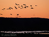 Cranes  (Grus grus), Lake Hornborga, April 2007  Copyright Jens Birch