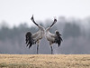 A couple of <b>eurasian cranes</b> (<i>Grus grus</i>) trumpeting with each other as part of their courtship by Lake Hornborga, Sweden, April 2006. <i>Disturbing elements without relations to the main subject, may have been removed in order to enhance the artistic merits of this image.</i>