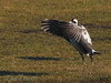Crane  (Grus grus), Lake Hornborga, April 2007  Copyright Jens Birch