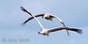 Cranes  (Grus grus), Lake Hornborga, April 2008  Copyright Jens Birch