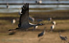 Crane  (Grus grus), Lake Hornborga, April 2007  Copyright Jens Birch