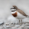 Banded Dotterel, male