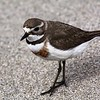 Banded Dotterel  - female