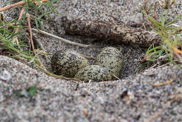 New Zealand Dotterel's nest of 3 eggs