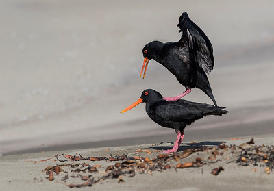 Variable Oystercatcher's