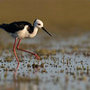 Pied Stilt - Lake Ellesmere