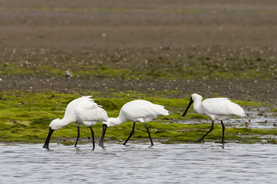 Spoonbills feeding at Ashley Estuary