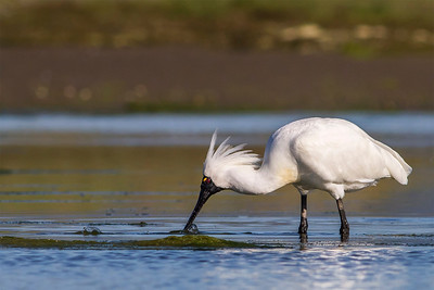 Spoonbill with breeding plumage