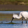 Spoonbill in breeding plumage