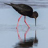 Black Stilt - Kaki
