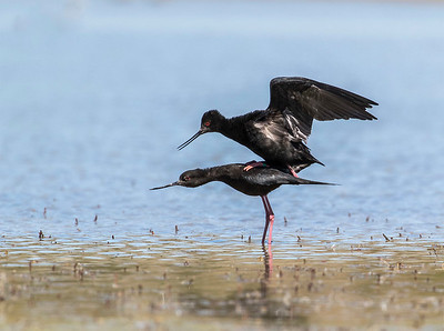 Kaki  Black Stilt, Tekapo