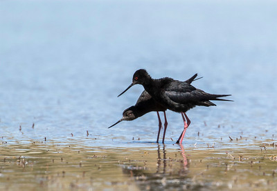 Black Stilt / Kaki