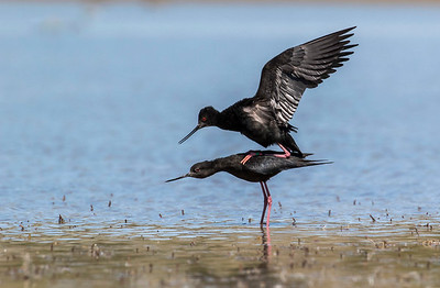 Black Stilt / Kaki  -  Mackenzie Basin