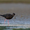Black Stilt  (female)