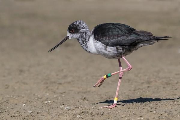 Juvenile Black Stilt