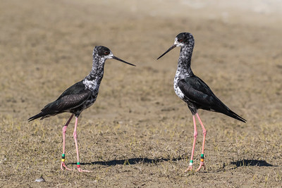 Juvenile Black Stilts