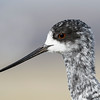 Juvenile Black Stilt