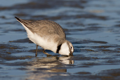 Wrybill feeding at the Ashley Estuary