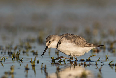 Wrybill feeding at Lake Ellesmere, Canterbury