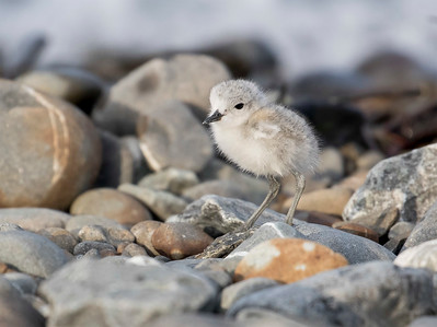 Wrybill chick  -  Lake Tekapo NZ