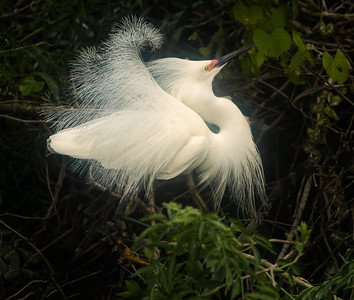 Displaying snowy egret