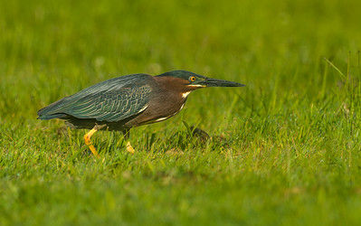 Green heron in grass