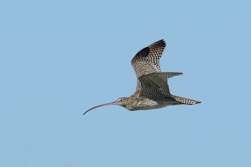 Eastern Curlew, Unnamed Island. The Broadwater, Gold Coast, Queensland.
