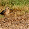 Long-billed Dowitcher (12)