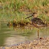 Long-billed Dowitcher (8)