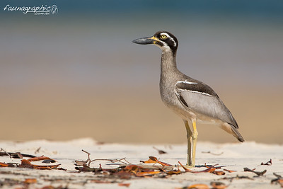 Beach-stone Curlew