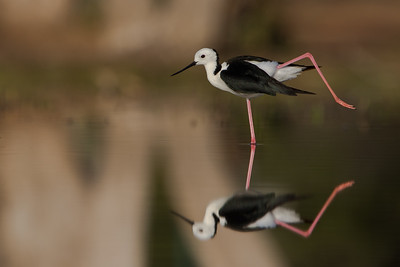 Black Winged Stilt - Adult