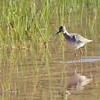 Lesser Yellowlegs (3)