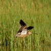 Long-billed Dowitcher (4)