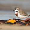 Double-banded Plover (Breeding Plumage)