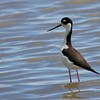Black-necked Stilt (3)