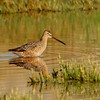 Long-billed Dowitcher (2)