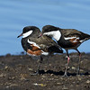 Red-kneed Dotterel's  (Erythrogonys cinctus)
