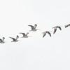 Eastern Curlews (Numenius madagascariensis)